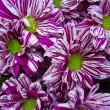 Bright chrysanthemums - Stock Photo