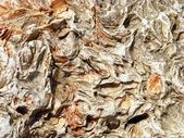 貝殻石灰岩石灰岩 — ストック写真