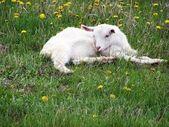 A little goat — Stock Photo