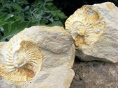 Fossil mollusks — Stock Photo