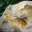 Royalty-Free Stock Photo: Fossil mollusk