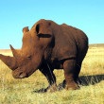������, ������: Rhinoceros