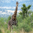 Giraffe — Stock Photo #1172064