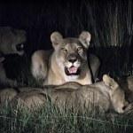 Lions — Stock Photo #1172305