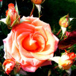 Rose — Stock Photo #1174038