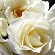 White Rose — Stock Photo #1176919