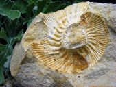 Fossil mollusk — Stock Photo