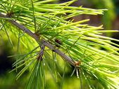 Branche de pin — Photo