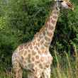 Giraffe — Stock Photo #1231105