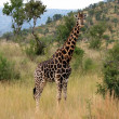Giraffe — Stock Photo #1231145