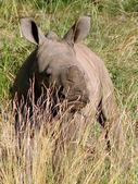 Small rhinoceros — Stock Photo
