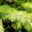 Pine branch — Stock Photo #1247843