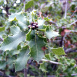 Christmas Holly Branch — ストック写真 #1400293