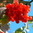Red berries — Stock Photo #1438088