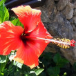 Red hibiscus flower — Stock Photo #1518151