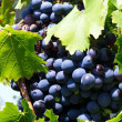 Grapes — Stock Photo #1656145