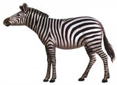 Animal zebra — Stock Photo