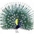 Bird Peacock — Stock Photo