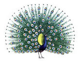 Bird Peacock — Stockfoto