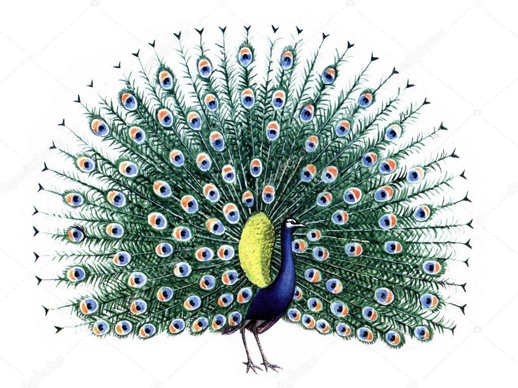 Bird peacock stock image