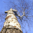 Birch tree — Stock Photo #2203691