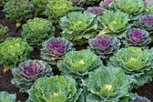 Decorative cabbage in a garden — Stock Photo