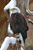Eagle on a snowy branch — Stock Photo