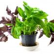 Royalty-Free Stock Photo: Basil