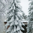 Stock Photo: Snowy spruce