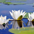 Lily — Stock Photo #1080146