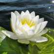 Water lily — Stock Photo #1098944