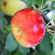 Apple and quince — Stock Photo