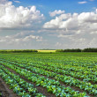 Cabbage growing on the field — Stock Photo #1110928