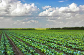 Cabbage growing on the field — Stock Photo