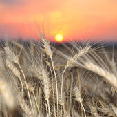 Wheat crop on a sunset — Stock Photo