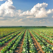 Cabbage field — Stock Photo #1185066