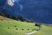 Cows on the alpen green meadow — Stock Photo