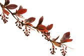 Branch barberry spring before flowering — Stock Photo