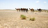 Camels in Sahara in Morocco — Stock Photo