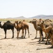 Camels in Sahara in Morocco - Stock Photo