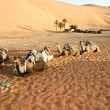 Camels gossip in the Sahara - Stock Photo