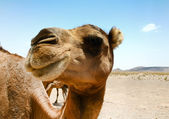 Camel in Sahara in Morocco — Stock Photo