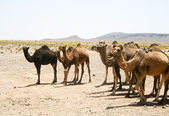 Camels in Sahara in Morocco — Stock Photo