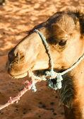 Portrait of a camel — Stock Photo