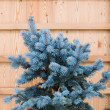 Stock Photo: Spruce against wooden wall