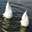 Top Down swan — Stock Photo #1074362