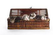 Blind kittens in the basket. — Stock Photo
