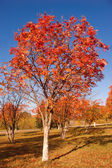 Tree with red leaves — Stock Photo