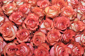 Bed of roses — Stock Photo