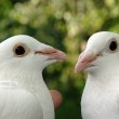 Couple of kissing birds — Stock Photo